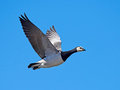 Barnacle goose (Branta leucopsis) Royalty Free Stock Photo