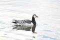 Barnacle goose or Branta leucopsis. Wild bird afloat Royalty Free Stock Photo