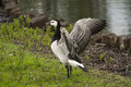 Barnacle goose a flapping his wings Royalty Free Stock Photo