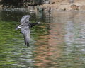 Barnacle goose in flight over water Stock Photos
