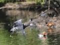 Barnacle goose in flight over water Stock Image