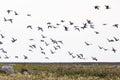 Barnacle goose flying over land Stock Image