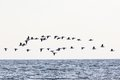 Barnacle goose flying at sea Royalty Free Stock Images