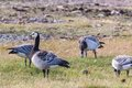 Barnacle goose grazing in a meadow Royalty Free Stock Photo