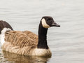 Barnacle goose one in shimmering water at daytime Royalty Free Stock Images