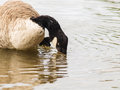 Barnacle goose one in shimmering water at daytime Royalty Free Stock Photography