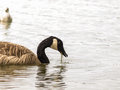 Barnacle goose one in shimmering water at daytime Stock Photo
