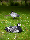 Barnacle goose sitting alone Royalty Free Stock Photo