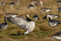 A barnacle goose stretching its wings after nap branta leucopsis stretches muscles by beating strongly Stock Photos