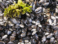Barnacles and mussels Stock Image
