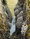 Barnacles on tidepool rocks at the beach at ecola state park oregon usa Royalty Free Stock Photo