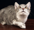 Barnsilver tabby kitten cat looking up Royaltyfria Bilder