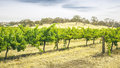 Barossa Valley Stock Image