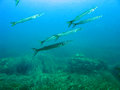 Barracudas swimming in a posidonia seagrass Stock Photo