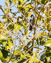 Barred Antshrike Royalty Free Stock Photography