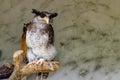 The Barred Eagle-owl