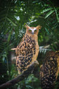 Barred eagle owl stare the also called the malay is a species of in the strigidae family it is found in brunei cocos Royalty Free Stock Photos