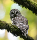 Barred Owl Royalty Free Stock Photo