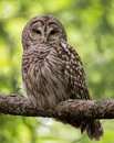 A Barred Owl in Maine