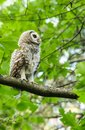 Barred Owl Chick Baby Perched on Tree Branch Royalty Free Stock Photo