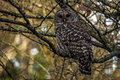 Barred owl in the fall Royalty Free Stock Photo