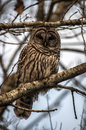 Barred owl in winter Royalty Free Stock Photo