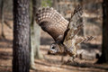 Barred Owl in Flight Royalty Free Stock Photo