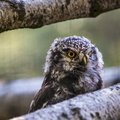Barred Owl with head turned Royalty Free Stock Photo