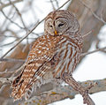 Barred owl the is a large of north america the adult is – cm – in long with a – cm – in wingspan it is also known as Stock Image