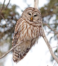 Barred owl the is a large of north america the adult is – cm – in long with a – cm – in wingspan it is also known as Royalty Free Stock Photos