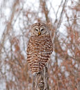 Barred owl the is a large of north america the adult is – cm – in long with a – cm – in wingspan as demonstrated in Stock Images