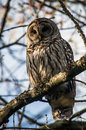 Barred owl on branch Royalty Free Stock Photo
