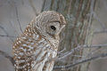 Barred Owl - Looking at Prey Royalty Free Stock Photo