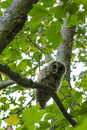 Barred owl in maple tree looking at camera a sitting a by itself the Royalty Free Stock Image