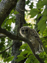 Barred owl in maple tree looking at camera a sitting a by itself the Stock Image
