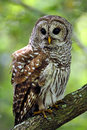 Barred owl perched on a branch in the everglades of Florida. Royalty Free Stock Photo
