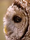Barred owl perfect profile the image of a s face Stock Images