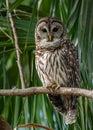 Barred Owl Portrait Royalty Free Stock Photo