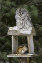 Barred owl and red squirrel predator and prey a is oblivious to a perched above it on a backyard feeder Royalty Free Stock Images