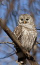 Barred Owl (Strix varia) Royalty Free Stock Photo