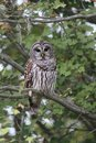 Barred Owl Strix Varia
