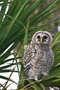 Barred owl waiting for its parents to feed it. Stock Image