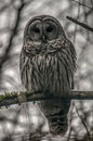 Barred owl in the woods Royalty Free Stock Photo
