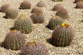 Barrel cactus blooming close up botanical garden phoenix az Stock Images