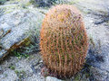 Barrel cactus in nevada desert Royalty Free Stock Photos