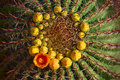 Barrel cactus with orange flower in ring of yellow buds. Royalty Free Stock Photo