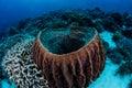 Barrel Sponge in Indonesia Royalty Free Stock Photo