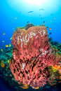 Barrel sponges in the shallows tropical fish swarm around a large sponge on a coral reef Stock Image