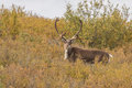 Barren Ground Caribou Bull Royalty Free Stock Photo