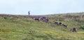 Barren-Ground Caribou Royalty Free Stock Photo
